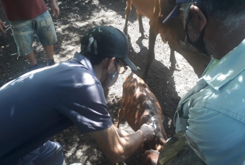 Vacinação contra a febre aftosa é iniciada em Mossoró
