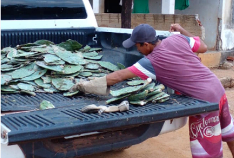 Secretaria entrega 12 mil unidades de palma de forrageira na zona rural de Mossoró